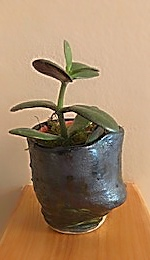 Potted Pixie 2